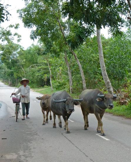 Wasserbüffel auf einer Straße in Vietnam