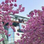 Wuppertaler Schwebebahn im Blütentraum