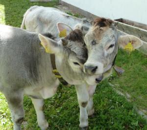 Zärtliche Kühe in Moos