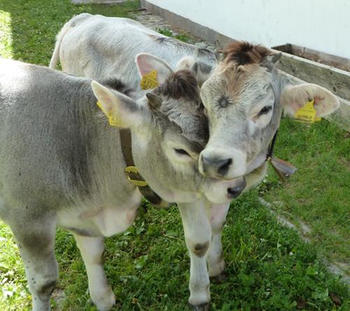 Kuschelnde Kühe im Passeiertal