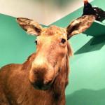 Ein Elch in der Landesausstellung