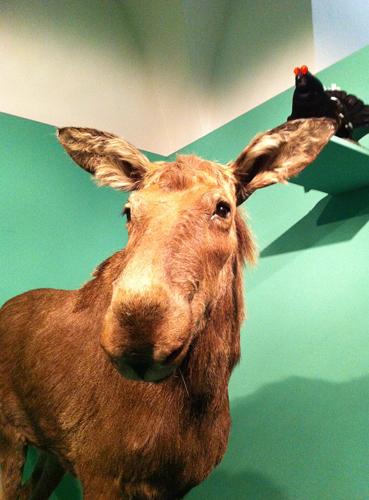 Ein Elch im Museum