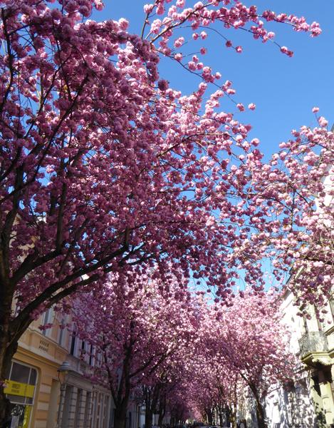 Kirschblüte in Bonn, in der Heerstraße
