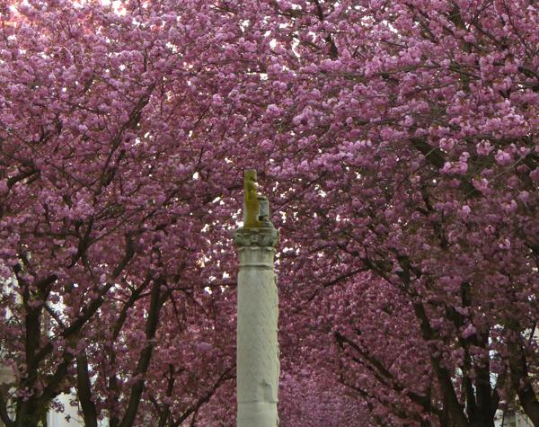 Ein Dach aus Kirschblüten in der Heerstraße in Bonn