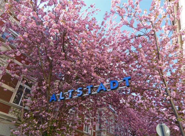 Die Kirschblüte in Bonn