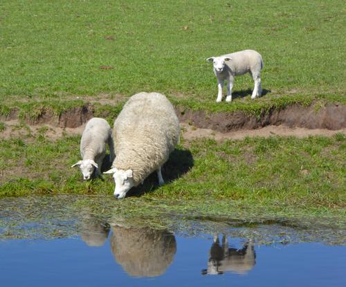 Texelschaf mit Lämmchen - Texel im Frühjahr
