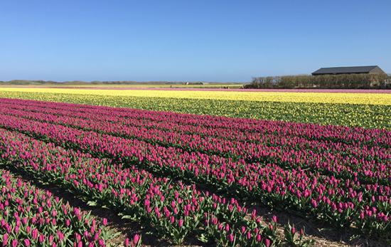 Tulpenfeld - Texel im Frühjahr