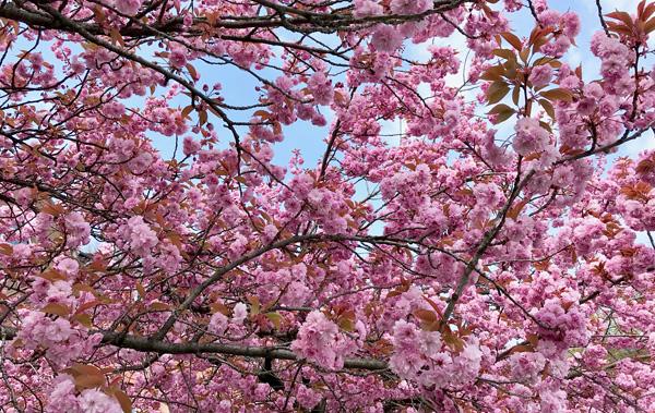 Rosafarbene Kirschblüten