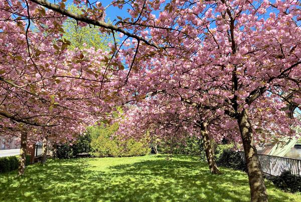Blühende Kirschbäume auf der Wiese