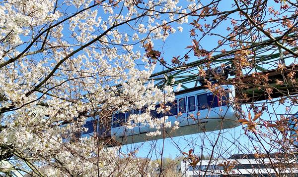 Weiße Blüten vor der Wuppertaler Schwebebahn