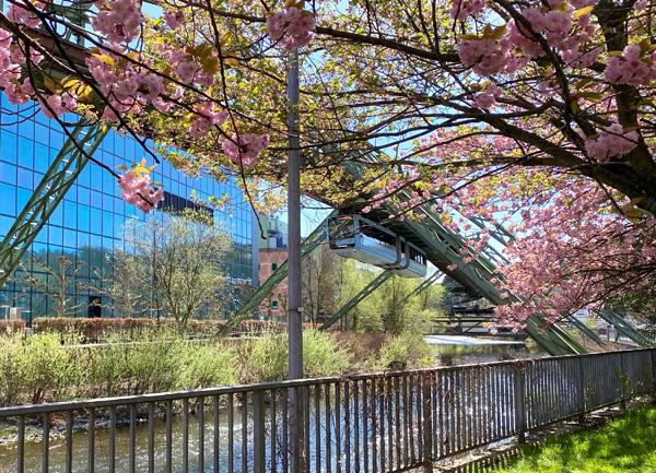 Kirschblüte in Wuppertal mit Schwebebahn